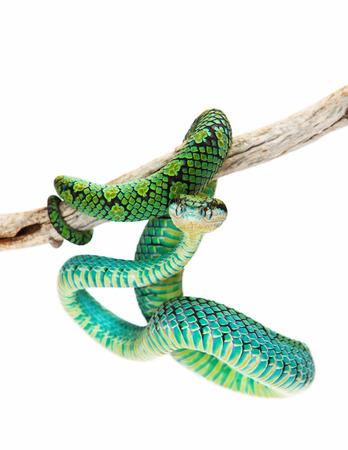 snake bite: Trimeresurus trigonocephalus, also known as Sri Lankan Palm Viper, a venomous tree snake found in the grasslands and rainforests of Sri Lanka