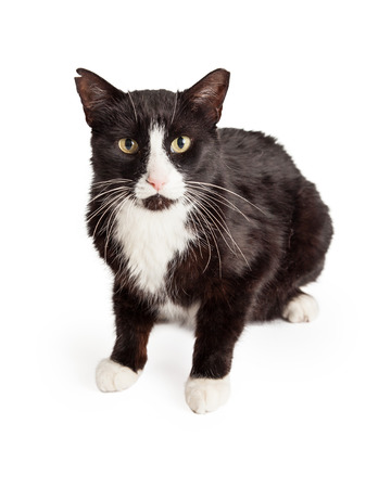 looking directly at camera: A curious Domestic Shorthair Mixed Breed Cat sitting while looking forward directly into the camera. Stock Photo