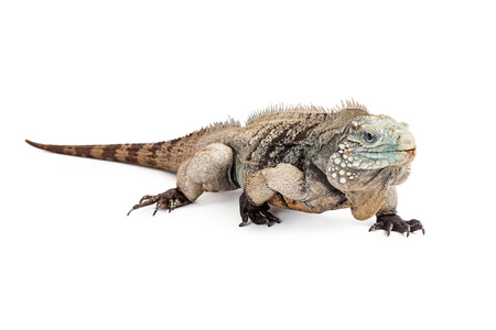 Grand Cayman Blue Iguana, an endangered species of lizard commonly found in the dry forests and shores of Grand Cayman Island. Lizard is walking forward on a white background.