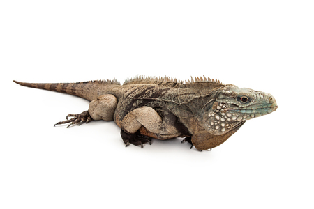 endangered species: Grand Cayman Blue Iguana, an endangered species of lizard commonly found in the dry forests and shores of Grand Cayman Island