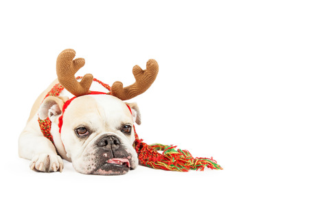 stockings: A sleepy looking Bulldog breed dog dressed as a reindeer is laying with tongue hanging out. Isolated on white with copyspace. Stock Photo