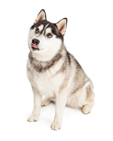 lips: Siberian Husky Dog licking its lips looking very hungry.