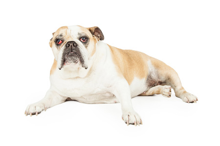 cataracts: A senior Bulldog with eye cataracts laying while looking forward.