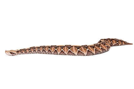 Profile of a large Bitis gabonica, known as a Gaboon Viper Snake which is commonly found in Africa Stock Photo