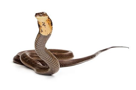 파업 킹 코브라 뱀 준비