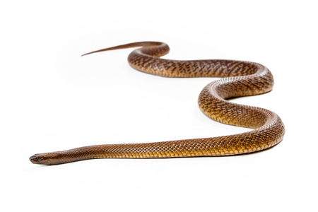 venomous: Oxyuranus microlepidotus, also known as Inland taipan, known as the worlds most venomous and deadly snake found in central east Australia. Isolated on white.