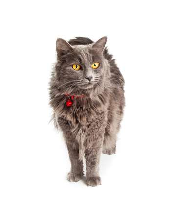 longhair: Beautiful longhair gray color domestic cat with bright yellow eyes and red collar