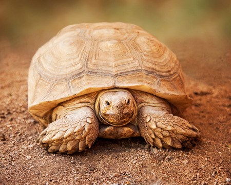 reptilia: Front view of a large Chelonoidis  nigra, commonly known as Galapagos Tortoise, a giant turtle native to the Galapagos Islands Stock Photo