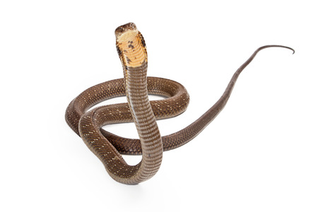 venomous: King cobra - The worlds longest venomous snake. Commonly found in the forests of India and Southeast Asia. Snake is looking forward on a white background.