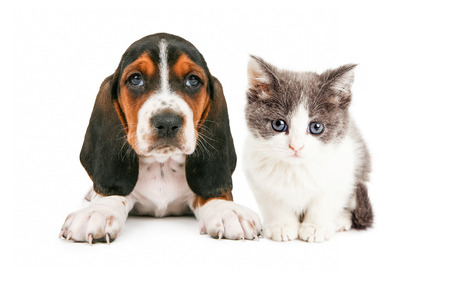 Een schattige kleine Basset Hound ras puppy hond zitten en kijken recht vooruit