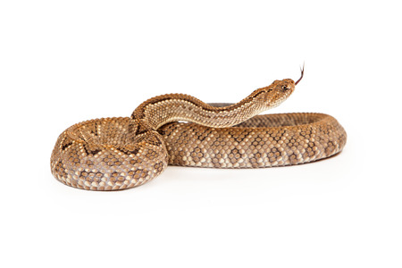 snake bite: Aruba Rattlesnake - A critically endangered (CR) species of venomous pitviper snakes mainly found in the Caribbean. Coiled up with forked tongue sticking out.