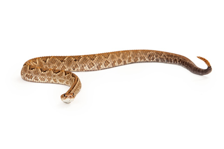 아루바 방울뱀 - 주로 카리브해에있는 악의에 찬 pitviper 뱀의 비판적으로 멸종 위기 (CR) 종.