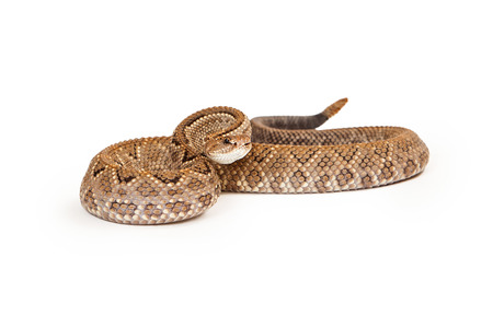 serpiente de cascabel: Aruba cascabel - Un peligro crítico (CR) especies de serpientes venenosas pitviper se encuentran principalmente en el Caribe. Serpiente se enrolla con una posición de defensa.