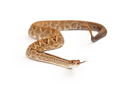 rattlesnake: Aruba Rattlesnake - A critically endangered (CR) species of venomous pitviper snakes mainly found in the Caribbean. Looking forward with forked tongue is sticking out.