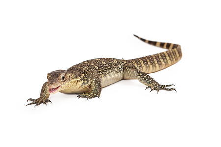 salvator: Varanus salvator, commonly known as Asian Water Monitor walking forward on a white background with mouth open