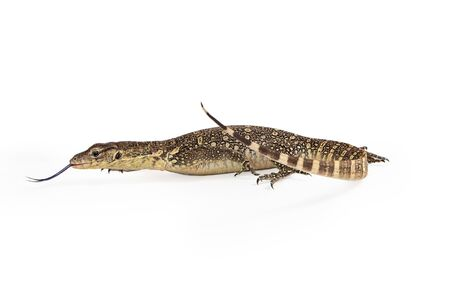 salvator: Side view of Varanus salvator, commonly known as Asian Water Monitor with tongue out