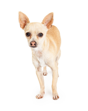 attentive: An attentive Chihuahua Dog stands while looking forward directly into the camera.