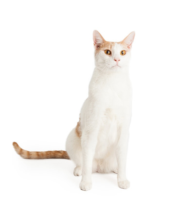 shorthair: A very attentive Domestic Shorthair Mixed Breed Cat