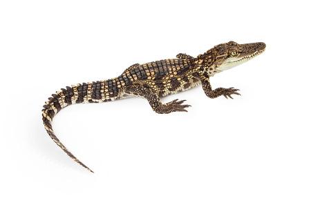 cocodrilo: Seis meses de edad del bebé siamés cocodrilo, una especie en peligro crítico lista roja, aislado en blanco Foto de archivo