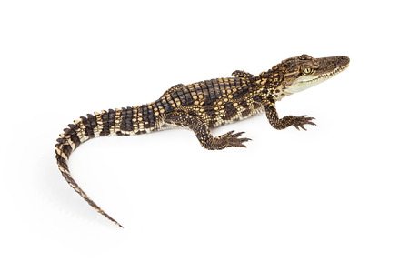 siamensis: Six month old baby Siamese Crocodile, a red-listed critically endangered species, isolated on white Stock Photo