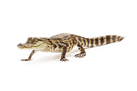 endangered species: Six month old baby Siamese Crocodile, a red-listed critically endangered species, walking forward on a white background.