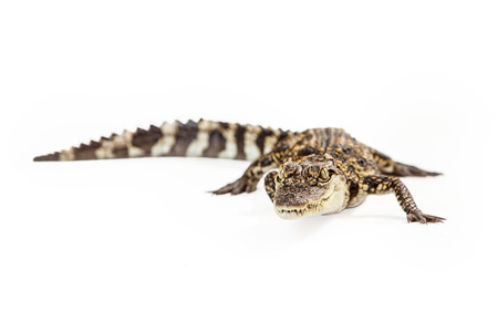 endangered species: Six month old baby Siamese Crocodile, a red-listed critically endangered species. Stock Photo