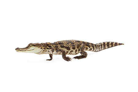 reptilia: Side view of a six month old baby Siamese Crocodile, a red-listed critically endangered species walking Stock Photo