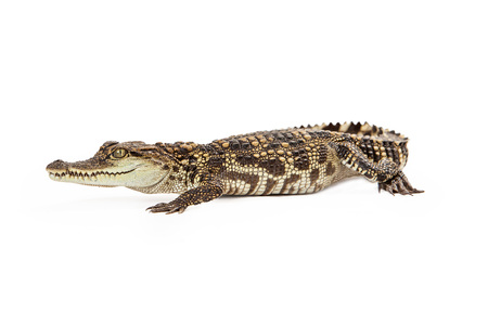 endangered species: Six month old baby Siamese Crocodile, a red-listed critically endangered species isolated on white.