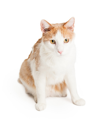 shorthair: A beautiful orange and white Domestic Shorthair Mixed Breed Cat sitting while looking forward.