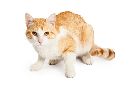 shorthair: Beautiful orange and while Domestic Shorthair Mixed Breed Cat laying facing forward looking directly into the camera.