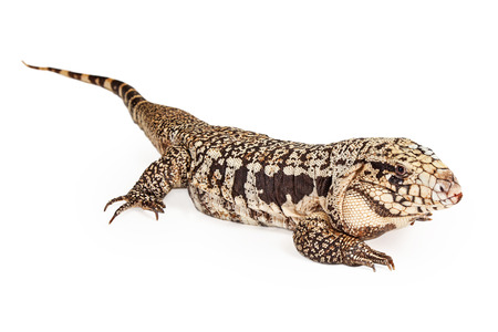 reptilia: Isolated image of anArgentine Black and White Tegu, a lizard that is commonly found in central South America
