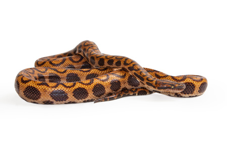 coiled: Epicrates cenchria, commonly known as a Brazilian Rainbow Boa Snake