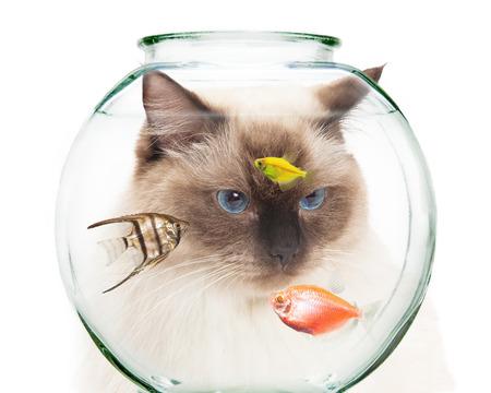 fish bowl: Closeup of a curious cat behind a bowl of pet fish