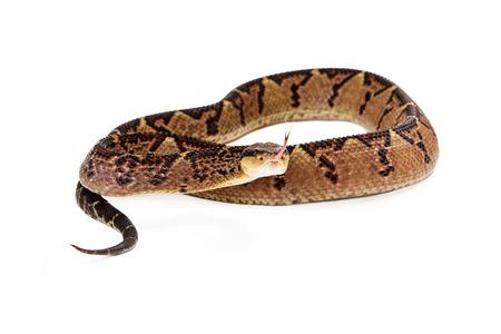 on forked: Lacheiss muta stenophrys, also known as Central American Bushmaster, a venomous pit viper snake found mainly in Central America and South America. Snake is coiled up and looking into the camera with his forked tongue stickign out