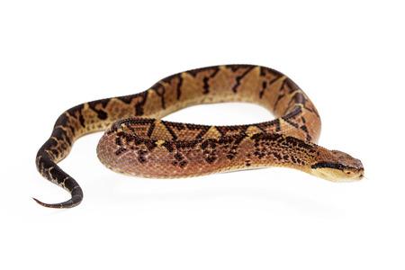 Lacheiss muta stenophrys, 중앙 아메리카 Bushmaster, 중미 및 남미 지역에서 주로 발견되는 악의적 인 구덩이 바이퍼 뱀. 뱀이 몸을 들어 올려 옆을보고있다.