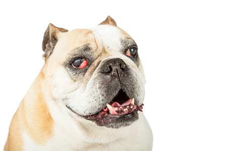 bloodshot: Closeup of a senior bulldog with red bloodshot eyes looking into the camera.