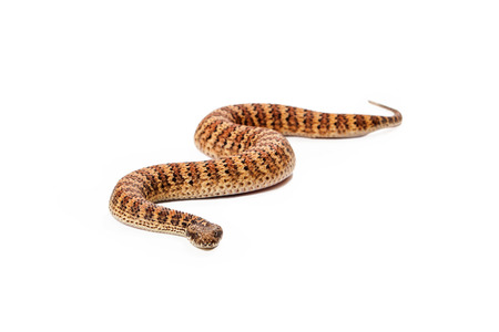 slithering: Acanthophis antarcticus, known as a Common Death Adder snake which is usually found in Australia. Snake is slithering forward towards the camera Stock Photo