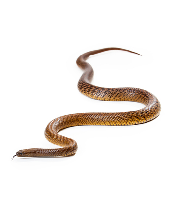 deadly: Oxyuranus microlepidotus, also known as Inland taipan, known as the worlds most venomous and deadly snake found in central east Australia. Isolated on white.