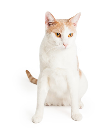 shorthair: Orange and white Domestic Shorthair Mixed Breed Cat sitting while looking off to the side.