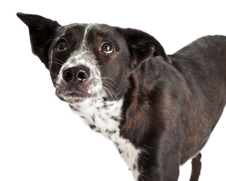 fearful: A scared looking Australian Shepherd Mixed Breed Dog. Stock Photo