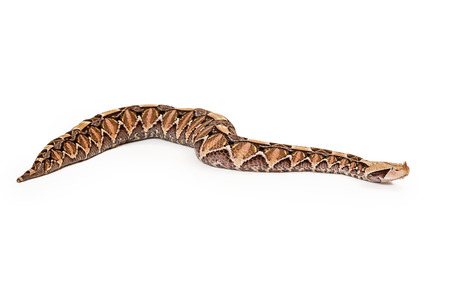Side view of a large venomous Bitis gabonica, known as a Gaboon Viper Snake which is commonly found in Africa Imagens