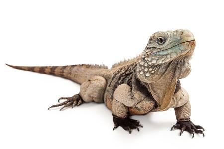 lagartija: Grand Cayman Blue Iguana, una especie en peligro de lagarto encuentra comúnmente en los bosques secos y orillas de la isla Gran Caimán Foto de archivo