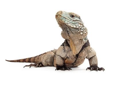 jaszczurka: Grand Cayman Blue Iguana, zagrożonych gatunków jaszczurki powszechnie spotykane w suchych lasach i wybrzeży Grand Cayman Island. Pojedynczo na białym z niskiej perspektywy.