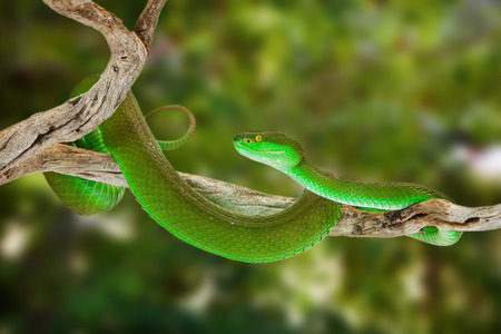 Beautiful bright green color White-lipped Pit Viper snake wrapped around a tree branch with blurred out leaves in the background.