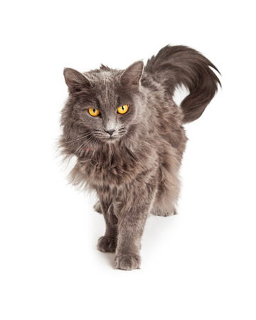 cabello largo y hermoso: Hermoso color gris el pelo largo de pie gato dom�stico y mirando hacia abajo
