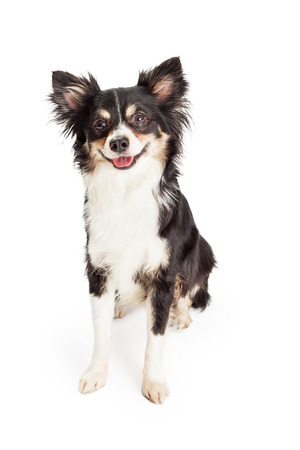 miniature breed: Un Chihuahua Raza mestiza adorable y muy feliz Perro que se sienta. Perro parece estar sonriendo mientras mira ligeramente hacia un lado.