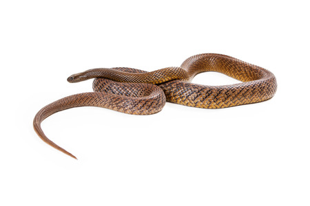 inland: Oxyuranus microlepidotus, also known as Inland taipan, known as the worlds most venomous and deadly snake found in central east Australia