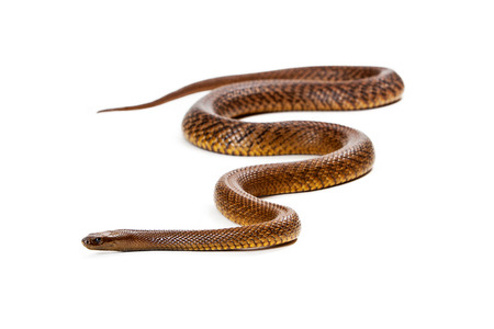 venomous: Oxyuranus microlepidotus, also known as Inland taipan, known as the worlds most venomous and deadly snake.