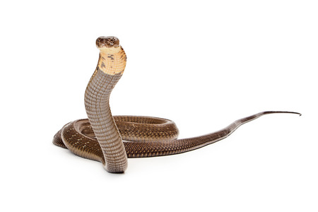 king cobra: King cobra - The worlds longest venomous snake. Commonly found in the forests of India and Southeast Asia. Isolated on white. Looking to side.