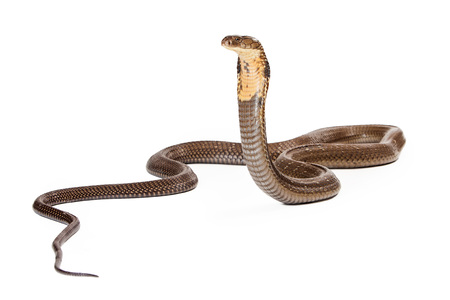King cobra - The world's longest venomous snake. Commonly found in the forests of India and Southeast Asia. Isolated on white. Looking to the side.
